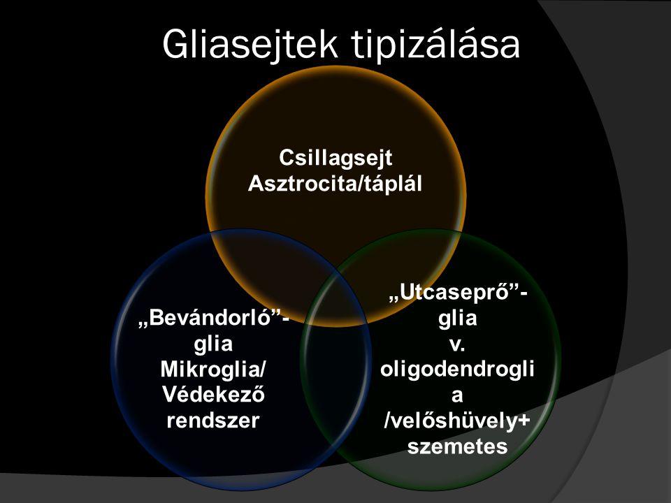 """Gliasejtek tipizálása Csillagsejt Asztrocita/táplál """"Utcaseprő""""- glia v. oligodendrogli a /velőshüvely+ szemetes """"Bevándorló""""- glia Mikroglia/ Védekez"""