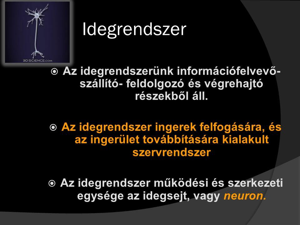 Idegrendszer  Az idegrendszerünk információfelvevő- szállító- feldolgozó és végrehajtó részekből áll.  Az idegrendszer ingerek felfogására, és az in