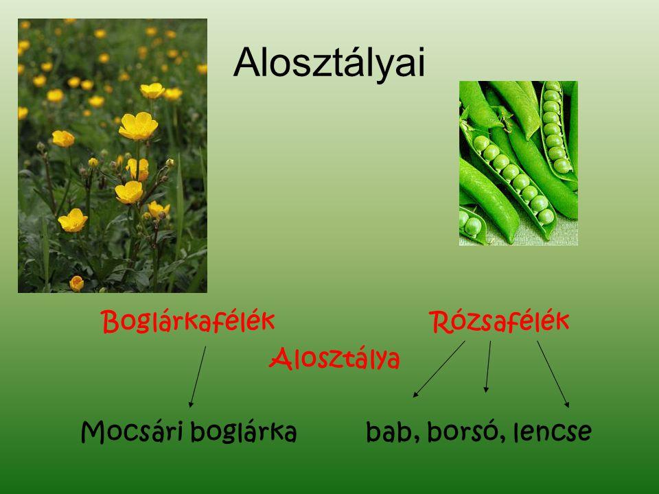Alosztályai BoglárkafélékRózsafélék Alosztálya Mocsári boglárka bab, borsó, lencse