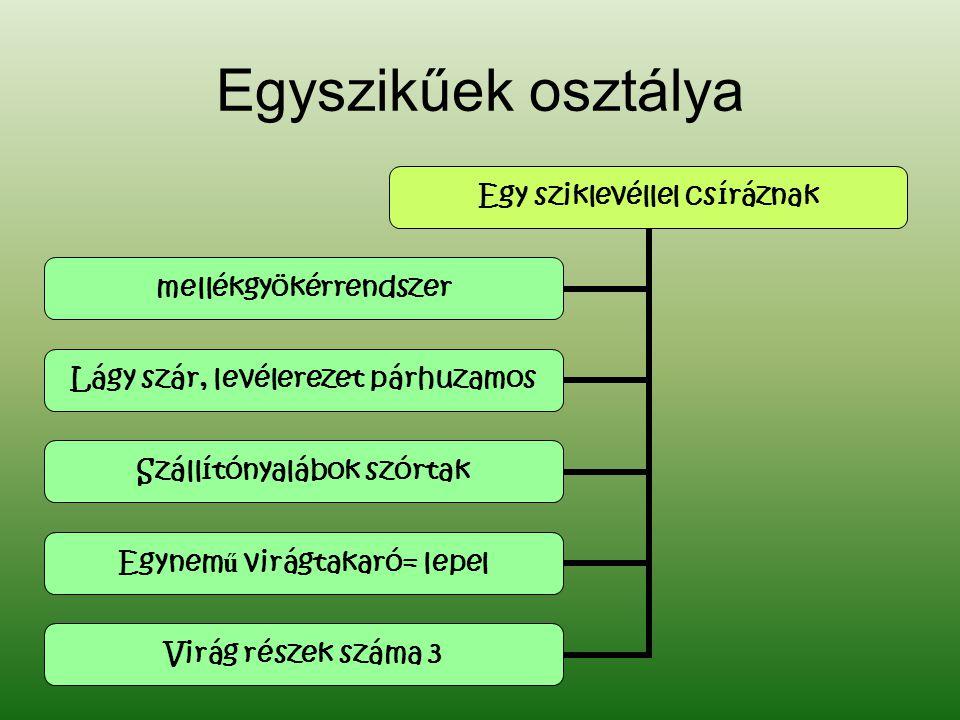 Egyszikűek osztálya Egy sziklevéllel csíráznak mellékgyökérrendszer Lágy szár, levélerezet párhuzamos Szállítónyalábok szórtak Egynem ű virágtakaró= l