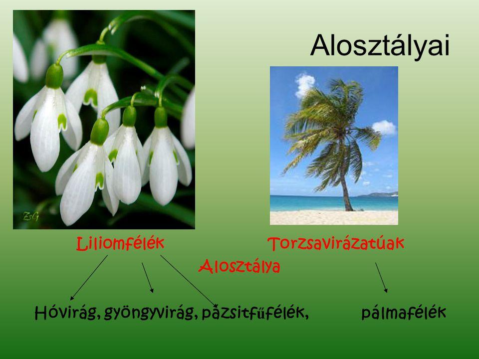 Alosztályai LiliomfélékTorzsavirázatúak Alosztálya Hóvirág, gyöngyvirág, pázsitf ű félék, pálmafélék