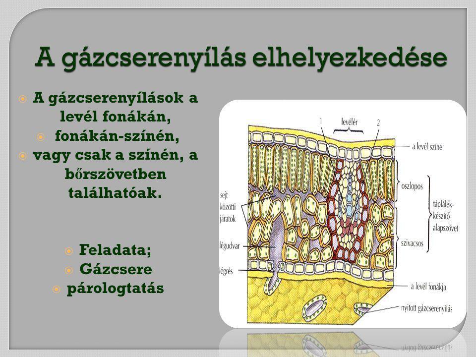  A gázcserenyílások a levél fonákán,  fonákán-színén,  vagy csak a színén, a b ő rszövetben találhatóak.