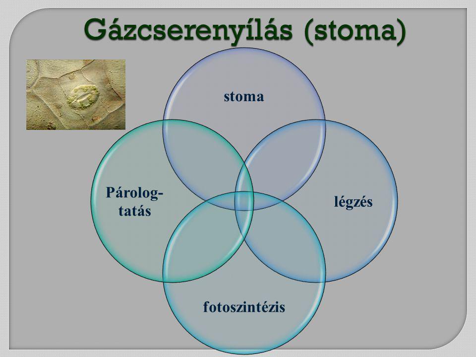 stoma légzés fotoszintézis Párolog- tatás