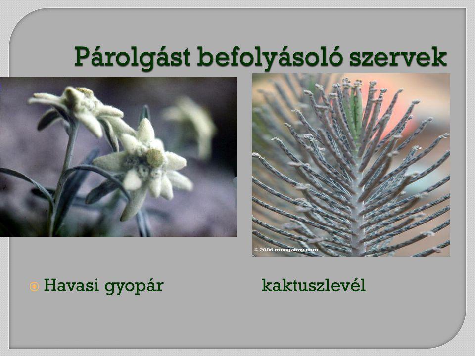  Havasi gyopár kaktuszlevél