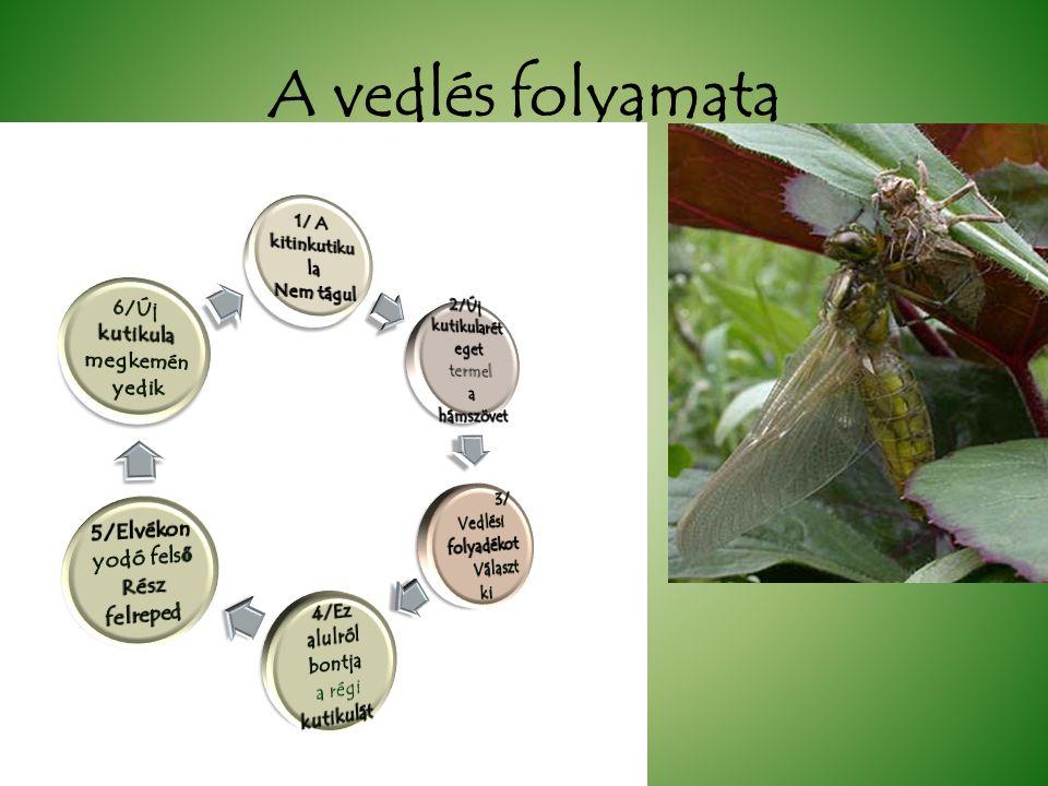 Izeltlábúak kültakarója kitinkutikula +kálciumkristályo /rákoknál/ Kitin- a hámsejek termelik hámszövet