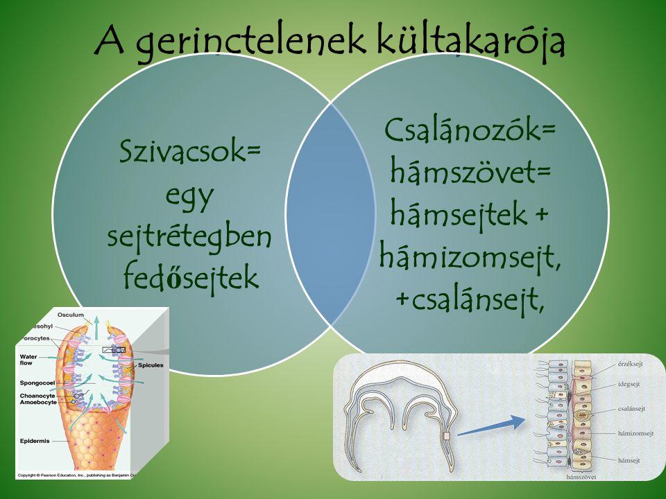 A gerinctelenek kültakarója Szivacsok= egy sejtrétegben fed ő sejtek Csalánozók= hámszövet= hámsejtek + hámizomsejt, +csalánsejt,
