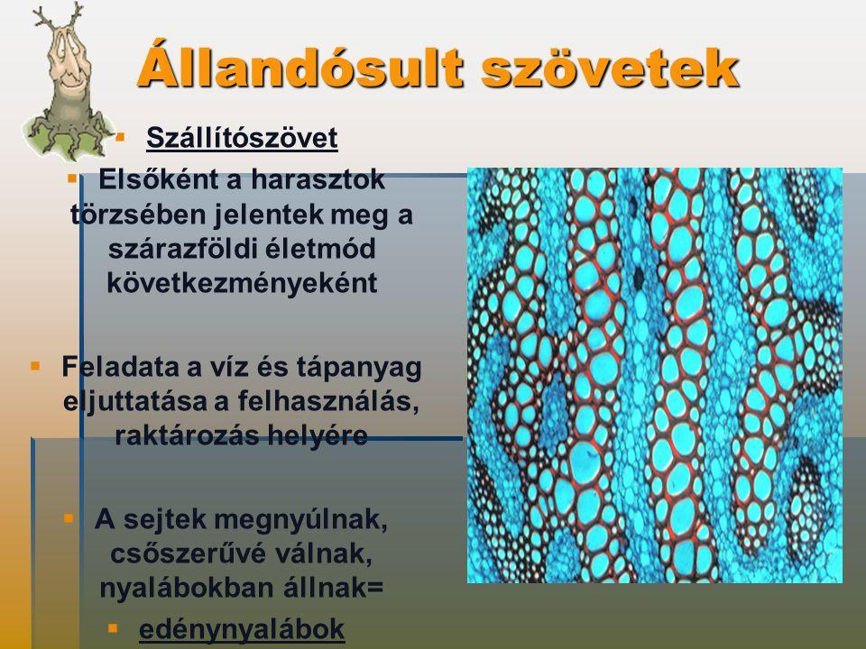 Állandósult szövetek   Szállítószövet   Elsőként a harasztok törzsében jelentek meg a szárazföldi életmód következményeként   Feladata a víz és tápanyag eljuttatása a felhasználás, raktározás helyére   A sejtek megnyúlnak, csőszerűvé válnak, nyalábokban állnak=   edénynyalábok
