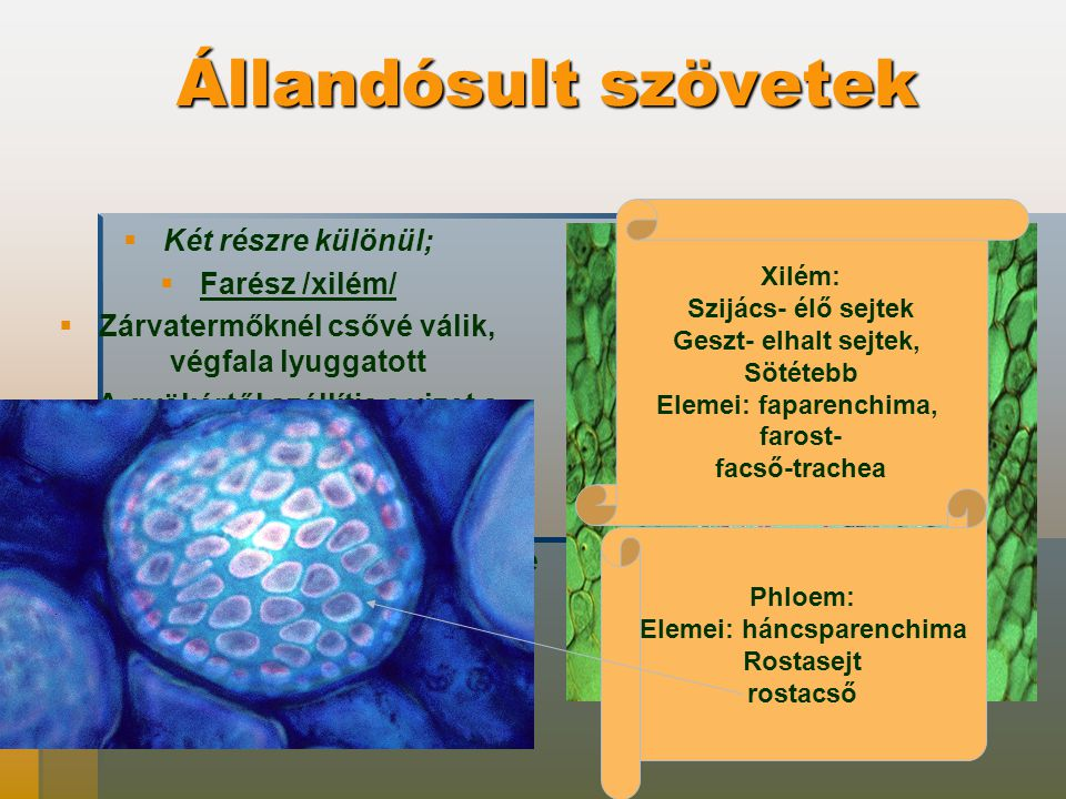 Állandósult szövetek   Két részre különül;   Farész /xilém/   Zárvatermőknél csővé válik, végfala lyuggatott   A gyökértől szállítja a vizet a levelek felé   Háncsrész / floém)   Szerves anyagokat szállítja a levélből a növény minden részébe   Rostacsövekből áll Xilém: Szijács- élő sejtek Geszt- elhalt sejtek, Sötétebb Elemei: faparenchima, farost- facső-trachea Phloem: Elemei: háncsparenchima Rostasejt rostacső