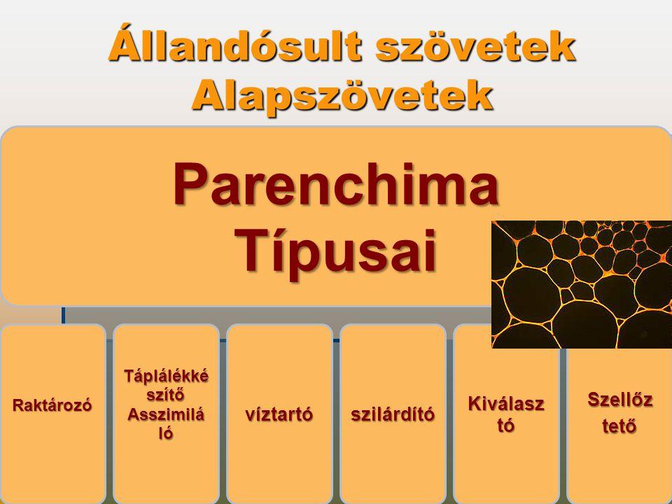 Állandósult szövetek Alapszövetek ParenchimaTípusai Raktározó Táplálékké szítő AsszimilálóvíztartószilárdítóKiválasztóSzellőztető