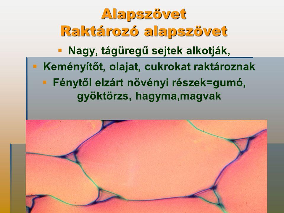 Alapszövet Raktározó alapszövet   Nagy, tágüregű sejtek alkotják,   Keményítőt, olajat, cukrokat raktároznak   Fénytől elzárt növényi részek=gumó, gyöktörzs, hagyma,magvak