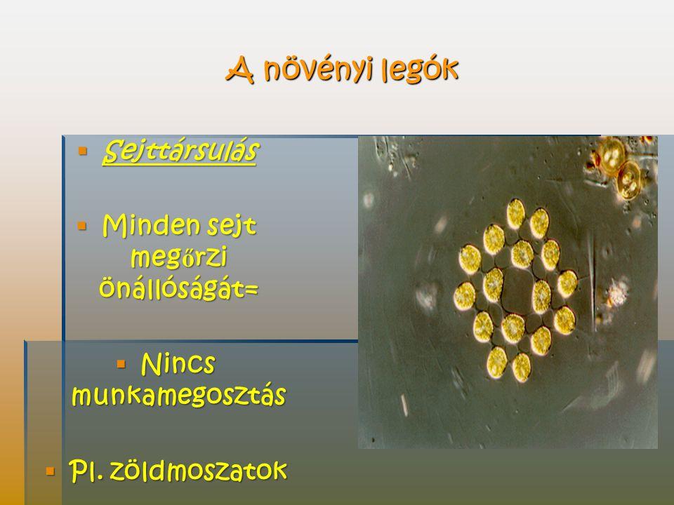 A növényi legók  Sejttársulás  Minden sejt meg ő rzi önállóságát=  Nincs munkamegosztás  Pl.