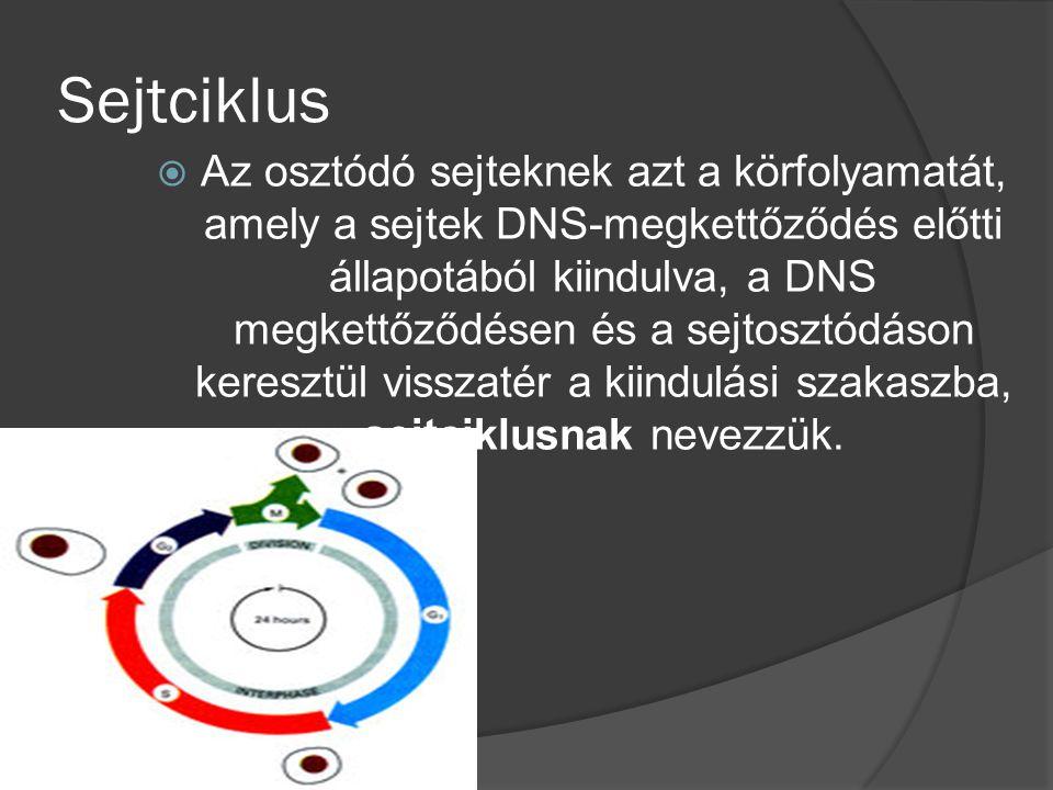 Sejtciklus  Az osztódó sejteknek azt a körfolyamatát, amely a sejtek DNS-megkettőződés előtti állapotából kiindulva, a DNS megkettőződésen és a sejtosztódáson keresztül visszatér a kiindulási szakaszba, sejtciklusnak nevezzük.