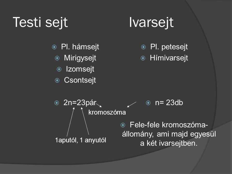 Testi sejtIvarsejt  Pl. hámsejt  Mirigysejt  Izomsejt  Csontsejt  2n=23pár kromoszóma 1aputól, 1 anyutól  Pl. petesejt  Hímivarsejt  n= 23db 