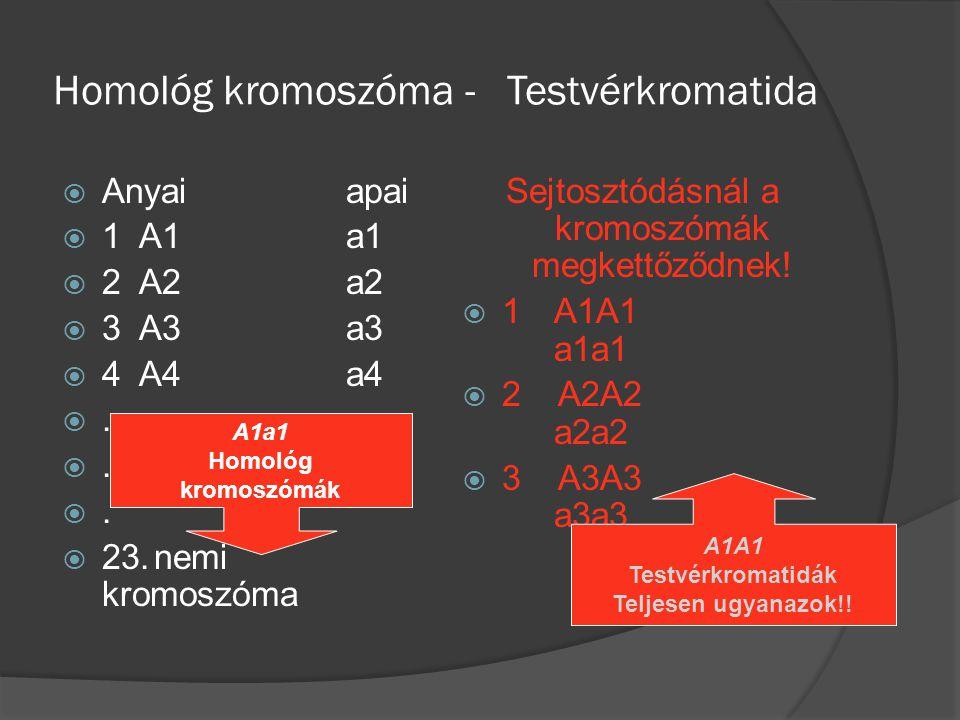 Homológ kromoszóma - Testvérkromatida  Anyaiapai  1 A1a1  2 A2a2  3 A3a3  4 A4a4 .. .. ..  23.nemi kromoszóma Sejtosztódásnál a kromoszómá