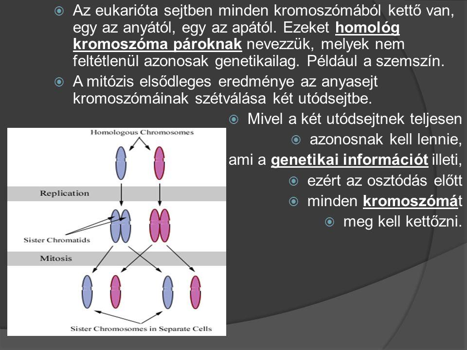  Az eukarióta sejtben minden kromoszómából kettő van, egy az anyától, egy az apától. Ezeket homológ kromoszóma pároknak nevezzük, melyek nem feltétle
