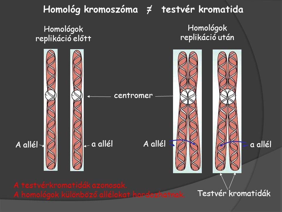 Homológok replikáció előtt Homológok replikáció után Homológ kromoszóma = testvér kromatida Testvér kromatidák centromer A allél a allél A allél A testvérkromatidák azonosak.