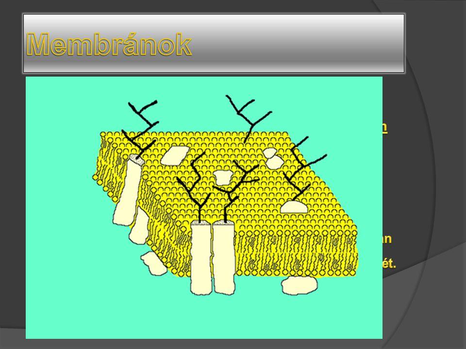 A mitózis fázisai fotón és rajzon