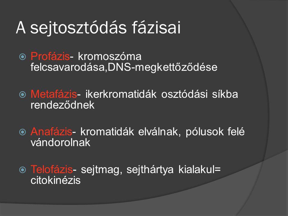 A sejtosztódás fázisai PProfázis- kromoszóma felcsavarodása,DNS-megkettőződése MMetafázis- ikerkromatidák osztódási síkba rendeződnek AAnafázis- kromatidák elválnak, pólusok felé vándorolnak TTelofázis- sejtmag, sejthártya kialakul= citokinézis