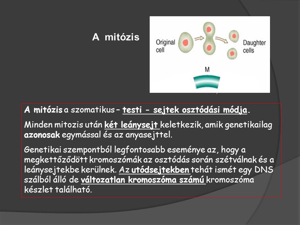A mitózis a szomatikus – testi - sejtek osztódási módja.