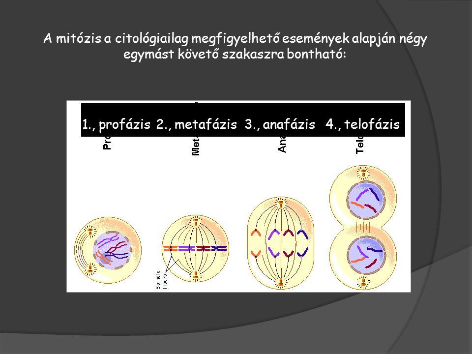A mitózis a citológiailag megfigyelhető események alapján négy egymást követő szakaszra bontható: 1., profázis2., metafázis3., anafázis4., telofázis