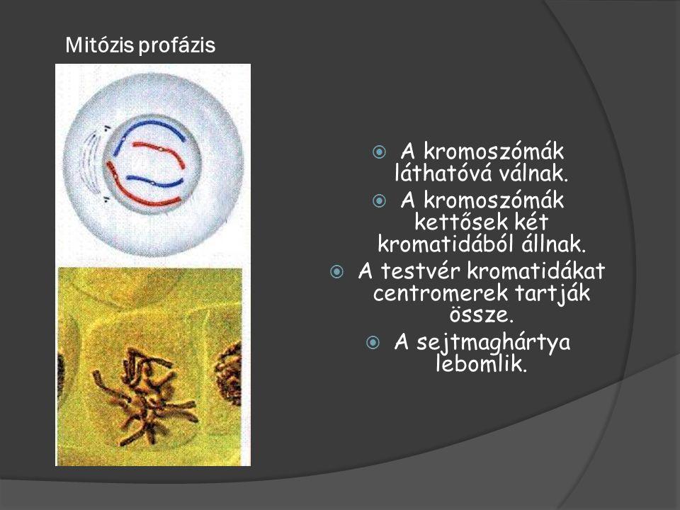 Mitózis profázis  A kromoszómák láthatóvá válnak.  A kromoszómák kettősek két kromatidából állnak.  A testvér kromatidákat centromerek tartják össz