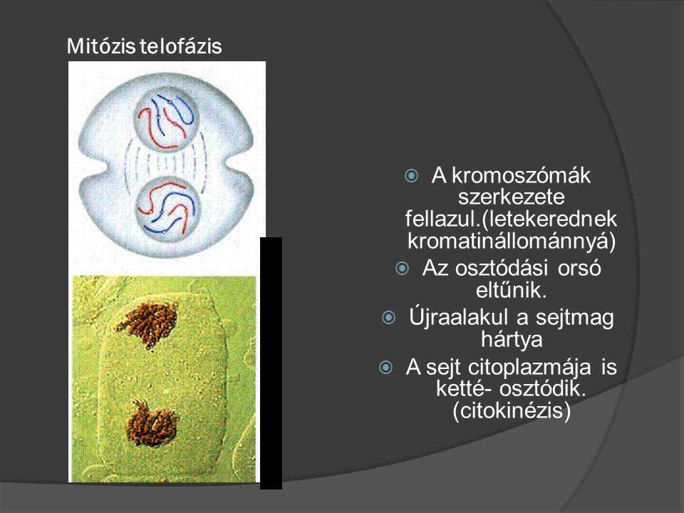 Mitózis telofázis  A kromoszómák szerkezete fellazul.(letekerednek kromatinállománnyá)  Az osztódási orsó eltűnik.  Újraalakul a sejtmag hártya  A