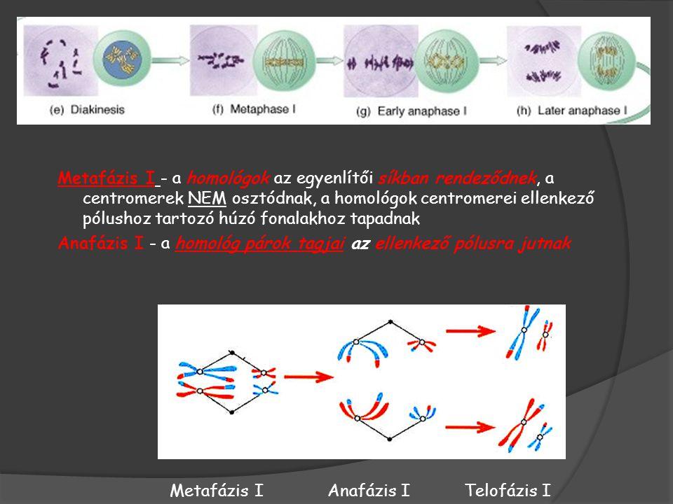 Metafázis I - a homológok az egyenlítői síkban rendeződnek, a centromerek NEM osztódnak, a homológok centromerei ellenkező pólushoz tartozó húzó fonalakhoz tapadnak Anafázis I - a homológ párok tagjai az ellenkező pólusra jutnak Metafázis IAnafázis ITelofázis I