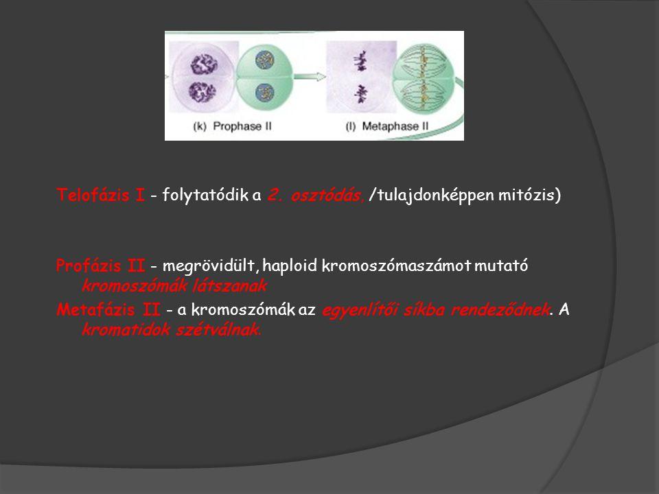 Telofázis I - folytatódik a 2. osztódás, /tulajdonképpen mitózis) Profázis II - megrövidült, haploid kromoszómaszámot mutató kromoszómák látszanak Met