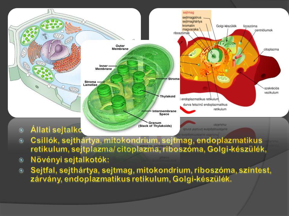 Anafázis II - A cetromerek elhasadnak, a húzófonalak az ellentétes pólusokra viszik a lkromatidákat.