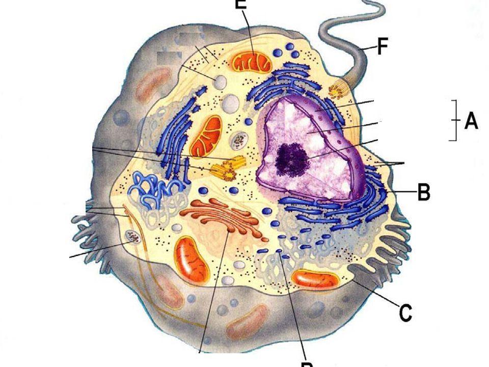  Az eukarióta sejtben minden kromoszómából kettő van, egy az anyától, egy az apától.