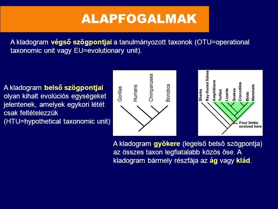 ALAPFOGALMAK A kladogram végső szögpontjai a tanulmányozott taxonok (OTU=operational taxonomic unit vagy EU=evolutionary unit). A kladogram gyökere (l