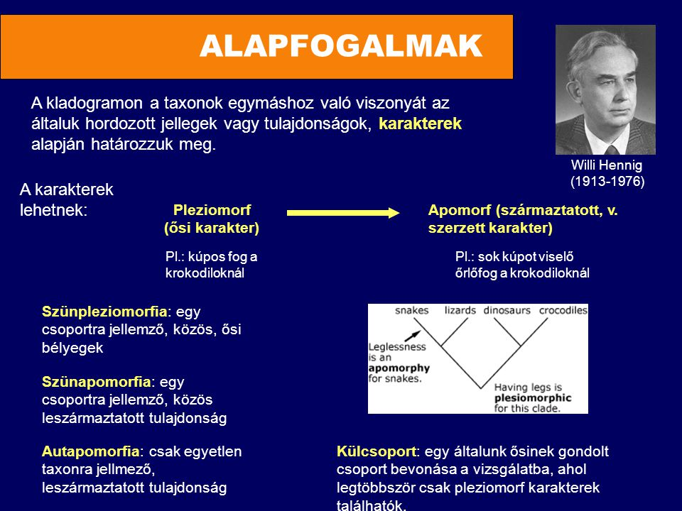 ALAPFOGALMAK A karakterek lehetnek: Pleziomorf (ősi karakter) Apomorf (származtatott, v. szerzett karakter) A kladogramon a taxonok egymáshoz való vis