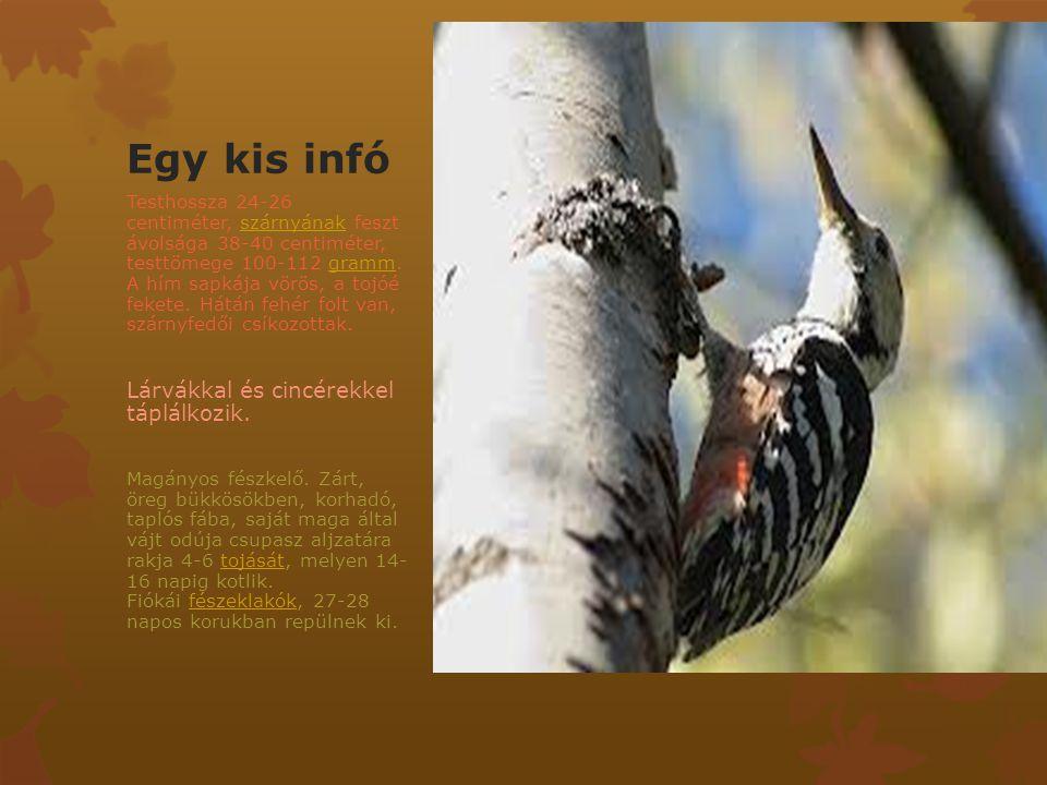 Egy kis infó Testhossza 24-26 centiméter, szárnyának feszt ávolsága 38-40 centiméter, testtömege 100-112 gramm. A hím sapkája vörös, a tojóé fekete. H