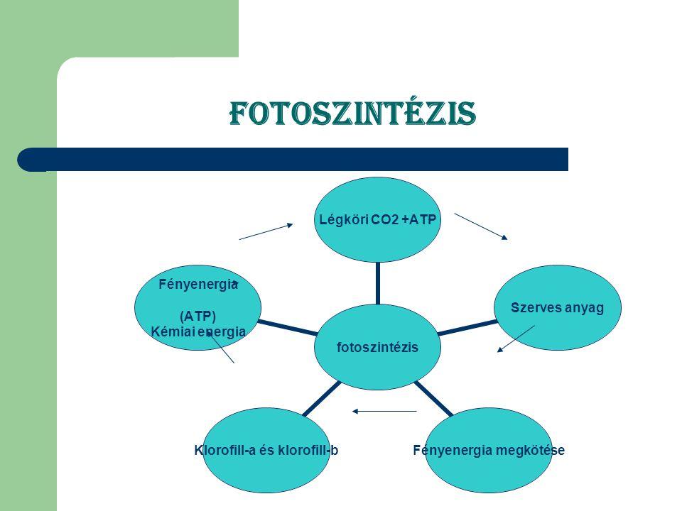 A fotoszintézis szakaszai fotoszintézis sötétszakasz fényszakasz