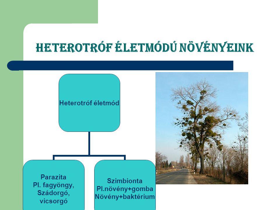 Heterotróf életmódú növényeink Heterotróf életmód Parazita Pl. fagyöngy, Szádorgó, vicsorgó Szimbionta Pl.növény+gomba Növény+baktérium