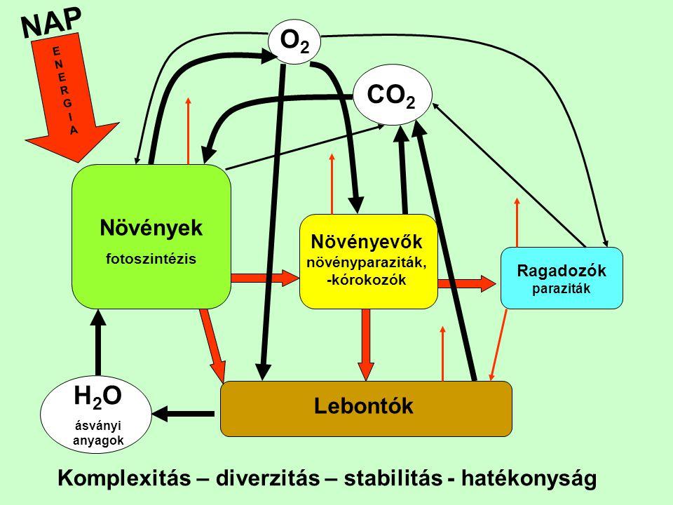 NAP Növények fotoszintézis Növényevők növényparaziták, -kórokozók Ragadozók paraziták Lebontók H 2 O ásványi anyagok CO 2 O2O2 ENERGIAENERGIA Komplexi