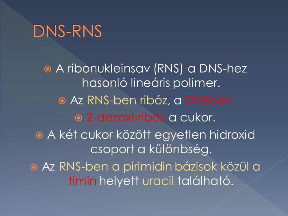  A ribonukleinsav (RNS) a DNS-hez hasonló lineáris polimer.