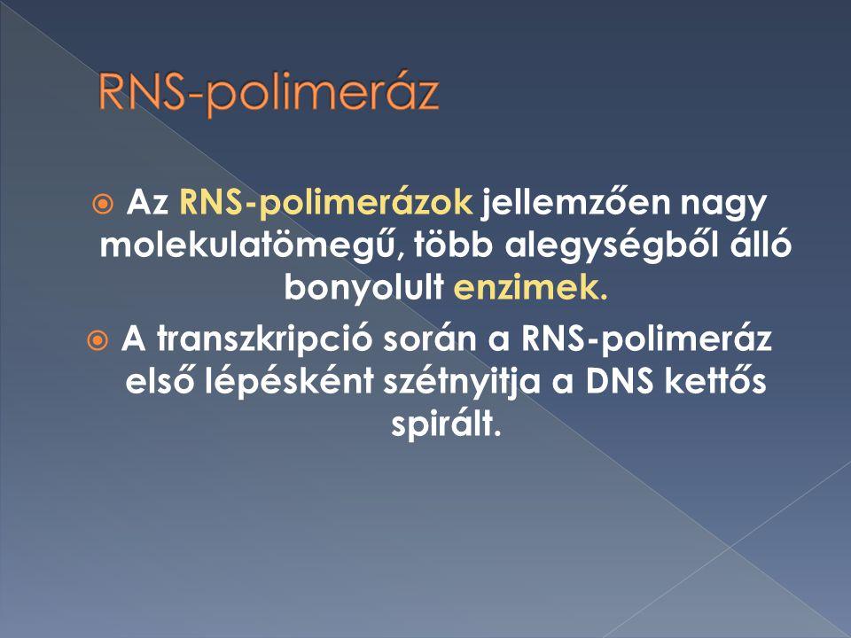  Az RNS-polimerázok jellemzően nagy molekulatömegű, több alegységből álló bonyolult enzimek.