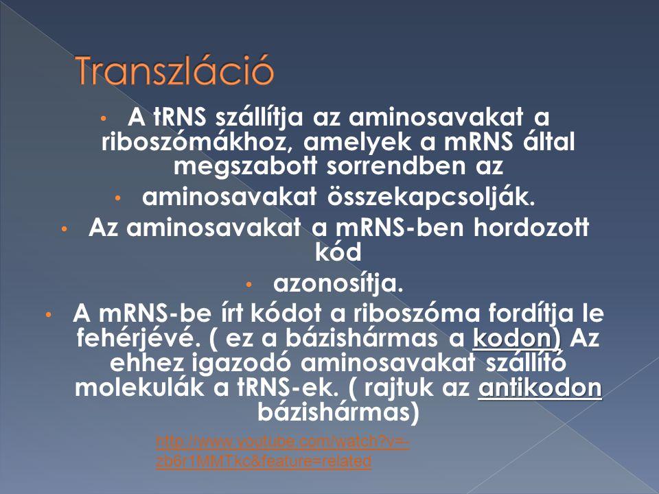 A tRNS szállítja az aminosavakat a riboszómákhoz, amelyek a mRNS által megszabott sorrendben az aminosavakat összekapcsolják.