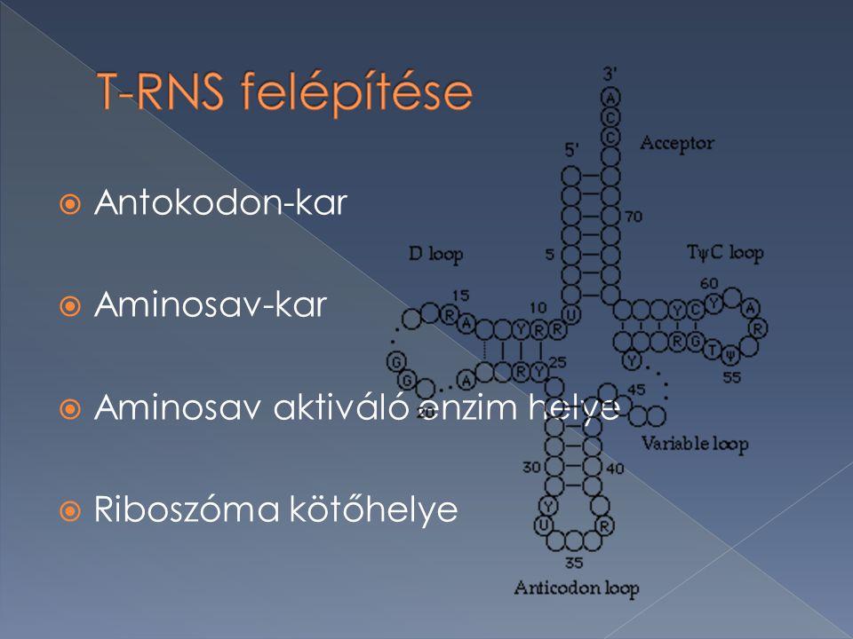  Antokodon-kar  Aminosav-kar  Aminosav aktiváló enzim helye  Riboszóma kötőhelye