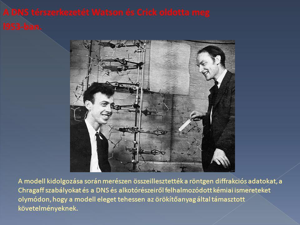 A DNS térszerkezetét Watson és Crick oldotta meg l953-ban.