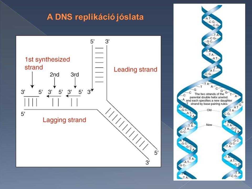 A DNS kettős spirál szerkezetéből közvetlenül adódik a megkettőződés mikéntje.