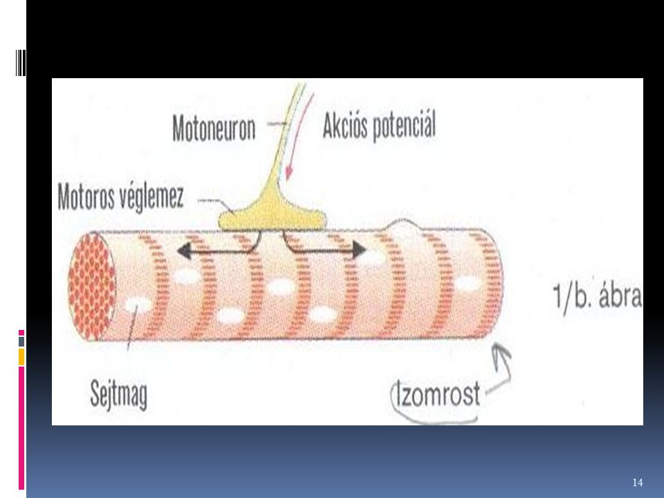 Mechanizmusa A troponin+tropomiozin egységet alkot, s gátolja az aktint, ami így nem tudja aktiválni a miozint.= nincs aktin-miozin komplex ( nincs iz