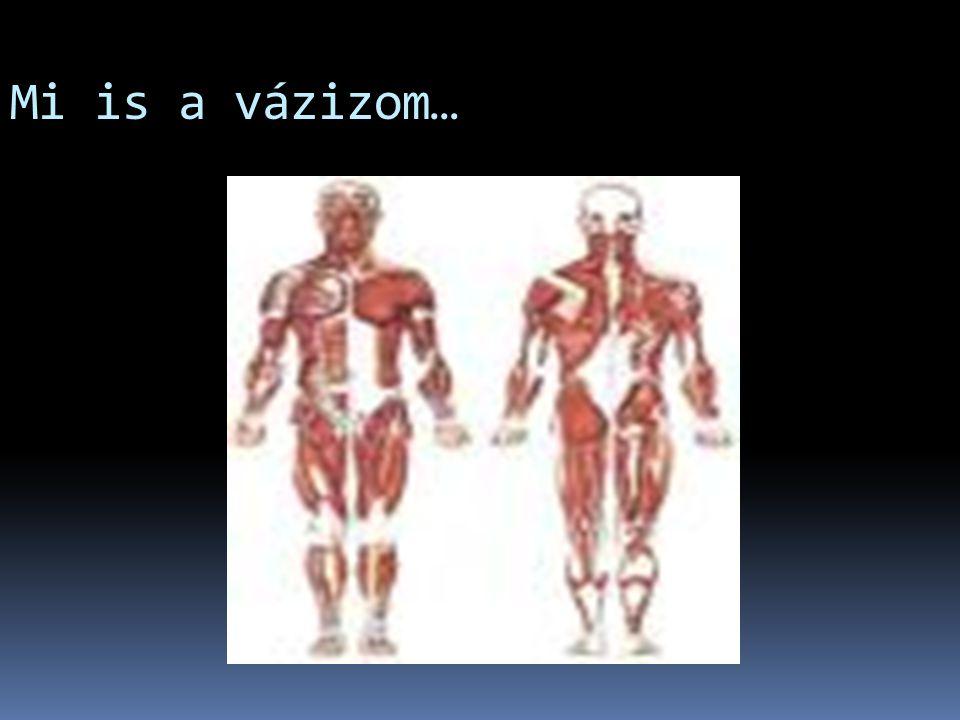 Izomrost típusok 11. Harántcsíkolt izom (vázizom) 22.Simaizom (bélfal, erek) 33.Szívizom 2