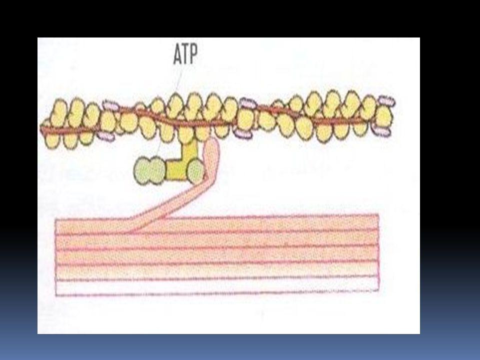 A vázizomzat működési egysége az izomrost.  Az izomrost= izomsejt ( soksejtmagvú, megnyúlt sejt)  Sejthártyáját: szarkoplazma-nak hívjuk  ER-ét: sz