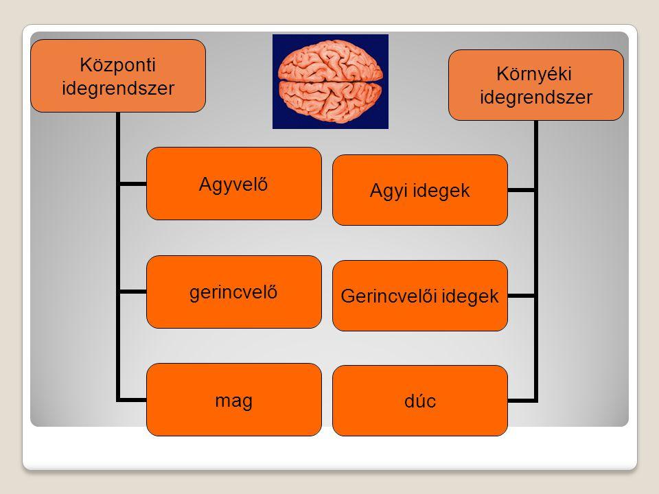Központi idegrendszer Agyvelő gerincvelő mag Környéki idegrendszer Agyi idegek Gerincvelői idegek dúc