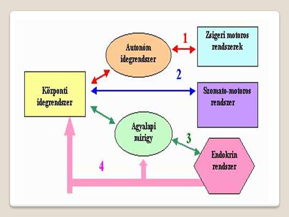 Idegi szabályozás Szervrendszere; idegrendszer Alapegysége; Idegsejt (neuron) Működési egysége; reflex Inger-receptor Ingerület- érzőidegsejt Válaszreakció -végrehajtó szerv