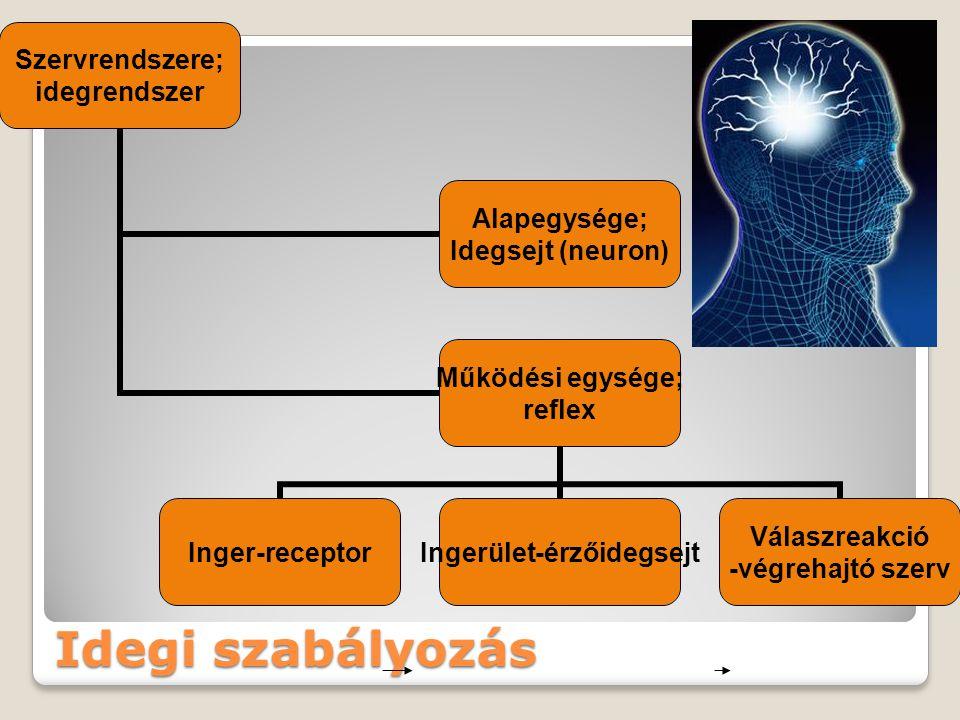 Idegi szabályozás Szervrendszere; idegrendszer Alapegysége; Idegsejt (neuron) Működési egysége; reflex Inger-receptor Ingerület- érzőidegsejt Válaszre
