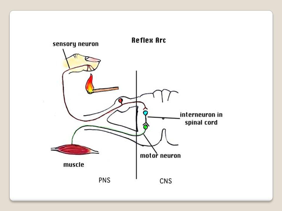 Az agyvelő tagolódása agyvelő előagy nagyagyköztiagy középagyutóagy kisagyagytörzs