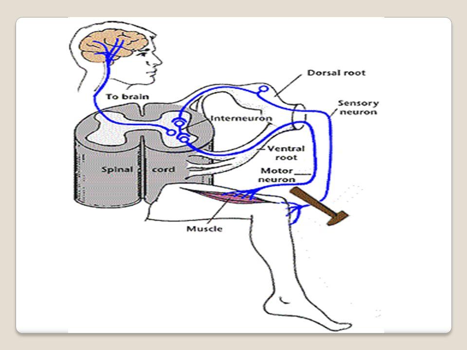 Hálózatos idegrendszer Legősibb típus; Diffúz v.